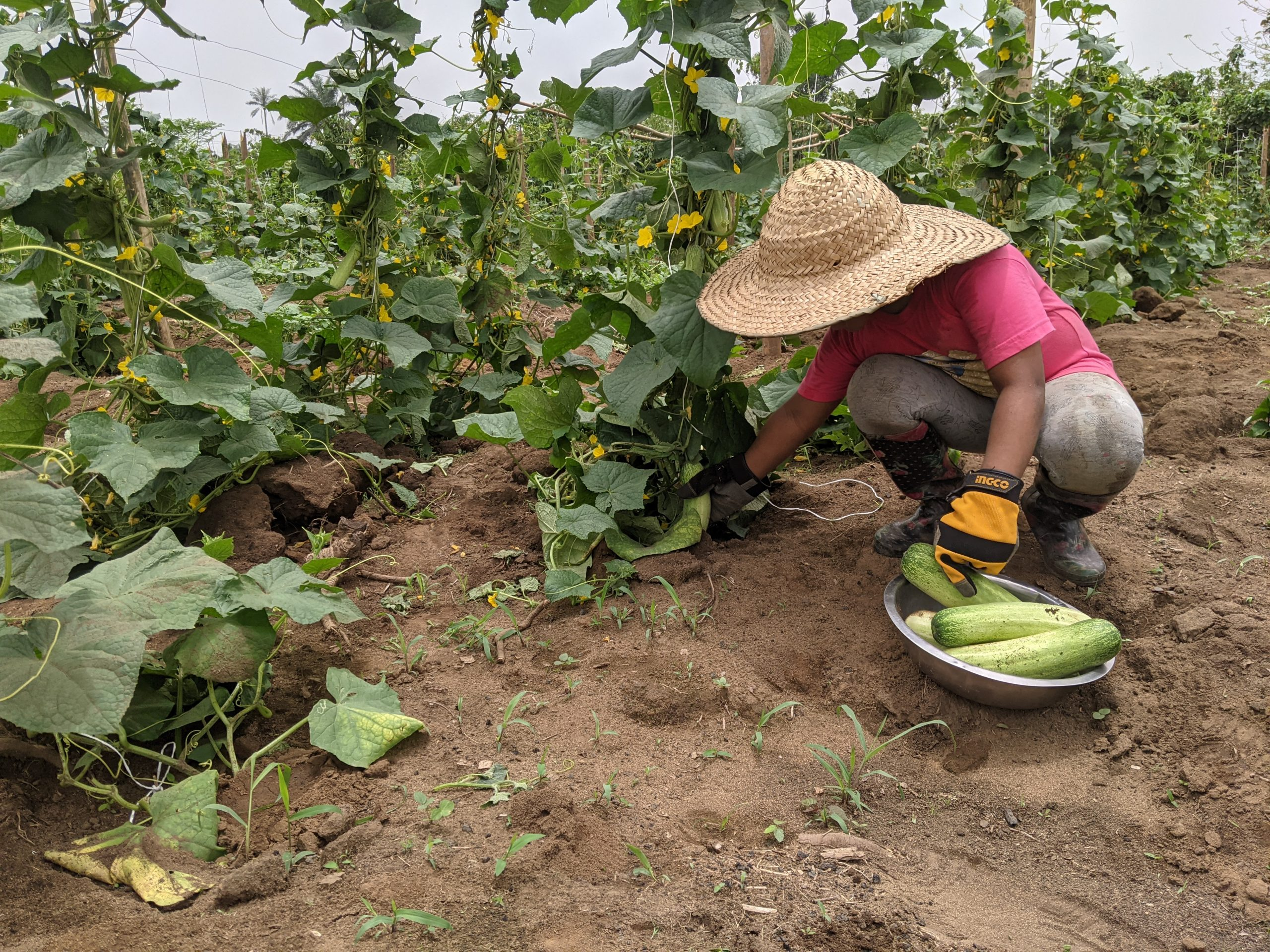 A Kid Farmer harvesting Cucumber at Croftop Farms - A Starthub Women Project