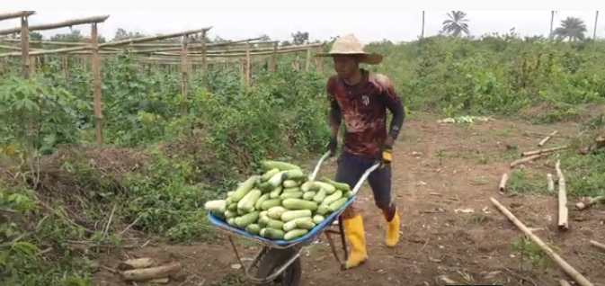Cucumber Harvesting
